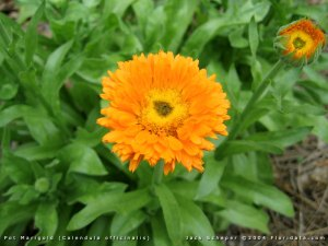 Caléndula, Maravilla o Flamenquilla (Calendula Officinalis)